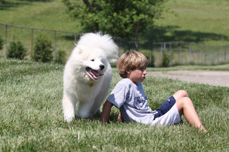 siberian samoyed dog breed