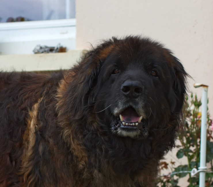 Whats The Difference Between A Leonberger And A Bernese