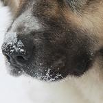 caucasian-dog-nose