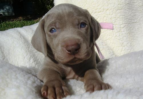 Weimaraner puppy photo