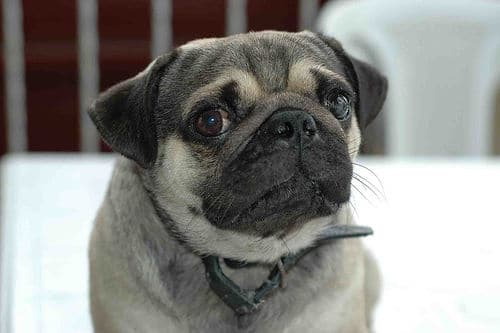pug-dog photo