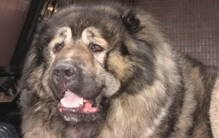 Russian Fighting Dog Breeds