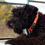 Black Russian Terrier Puppies - An Amazing Pet For You