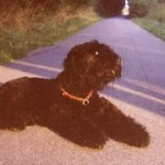My Personal Black Russian Terrier Experience