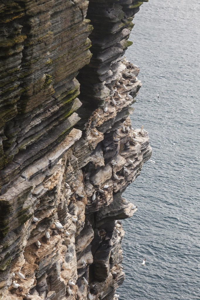 Gannets Nesting At Noup Head