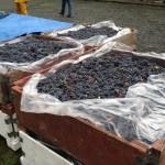 Cabernet Sauvignon grapes awaiting the crusher