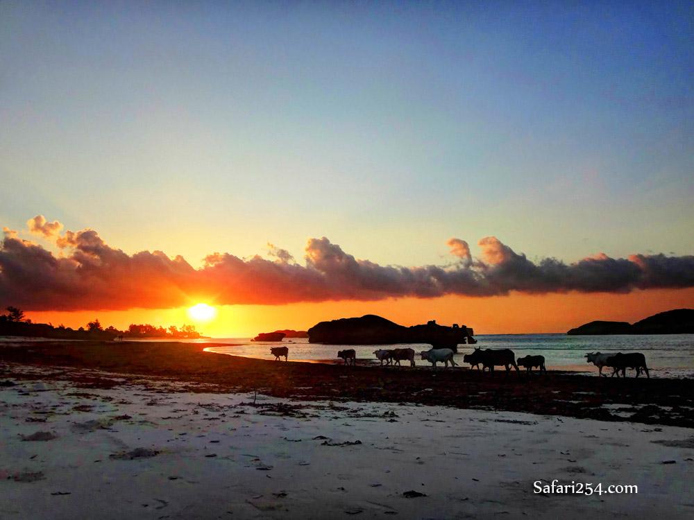 Watamu beach_cows