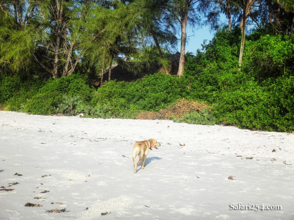 Watamu beach_dog stroll2