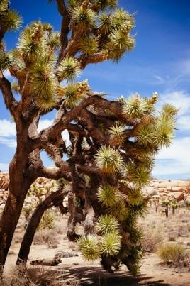 Joshua Tree National Park, CA - Joshua Trees