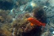 Garibaldi, Snorkeling Shot!