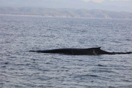 Whales on Banderas Bay