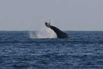 Whales spotted from our porch, Ensenada Carrizal