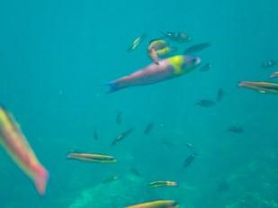 Rainbow Sherbet fish?