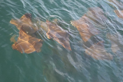 Rays swimming beside Footloose at anchor
