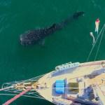 whaleshark swimming alongside Calypso