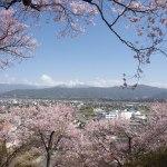 桜が咲きました! が・・・