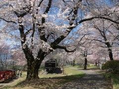 150406伊那公園桜-昨年02