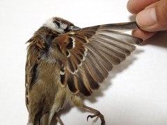 151230小鳥の羽03