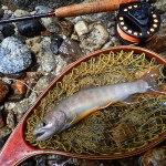 夏休み明けのヤマトイワナ|天竜川水系 フライフィッシング