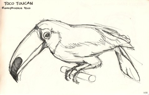 sketch of a Toucan from Natural History Museum.