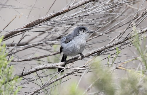 California gnatcatcher. Photo: Dominic Sherony/Wikimedia Commons