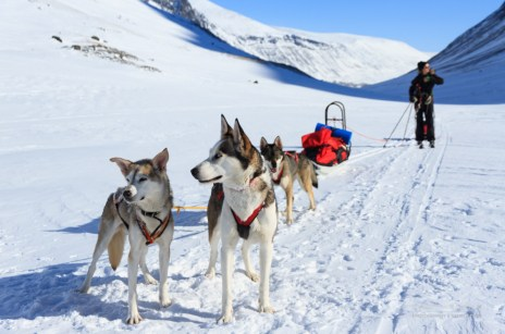 A husky sled dog team at work on a winter day in Sweden.
