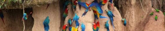 amazon wildlife macaw clay lick tambopata lodge sandoval lake reserve