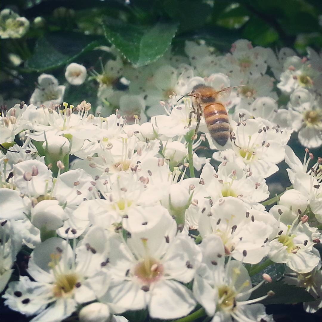 Instagram: The neighborhood girls are loving this ornamental pear tree. #bees