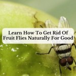 Learn How To Get Rid Of Fruit Flies Naturally For Good