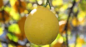 Savjeti za uzgoj agruma