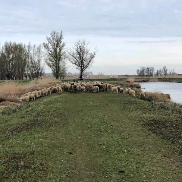 schapen in noordwaard