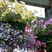Les magnifiques fleurs qui orneront les autels des différentes chapelles de Papa Stronsay