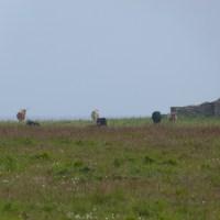 Les vaches du monastère
