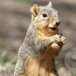 Arctic ground squirrels - key to promising cardiac research