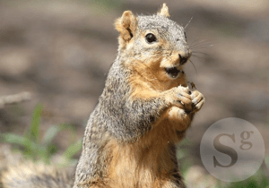 Dr Jinka's work switches hibernation on and off in artic squirrels © Sciengist