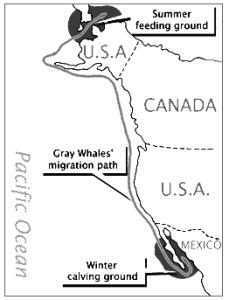 The Migration Path of Gray Whales along the west coast of North America Gray whale migration routehttp://oneillseaodyssey.org/expand-your-knowledge/surface-temperature/
