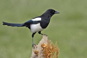 Eurasian magpie (Pica pica) has some impressive enlargements (Image: http://images.forwallpaper.com)