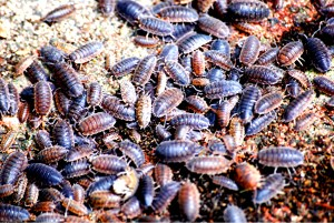 A crowd of Porcellio scaber Isopods https://upload.wikimedia.org/wikipedia/commons/8/81/Porcellio-scaber.JPG