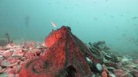 Deze donkergekleurde octopus maakt zich groot. Allemaal tekenen van agressie. Afbeelding: David Scheel.