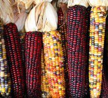 Perché in molti sono contrari alla coltivazione di OGM se la scienza dice che sono sicuri?