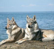 Quante volte sono stati addomesticati i cani?