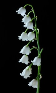 Picture - Lilly of the Valley