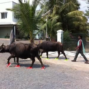 IMG_2733 buffel
