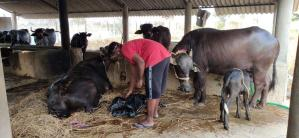 Prem heeft volop werk in de stal