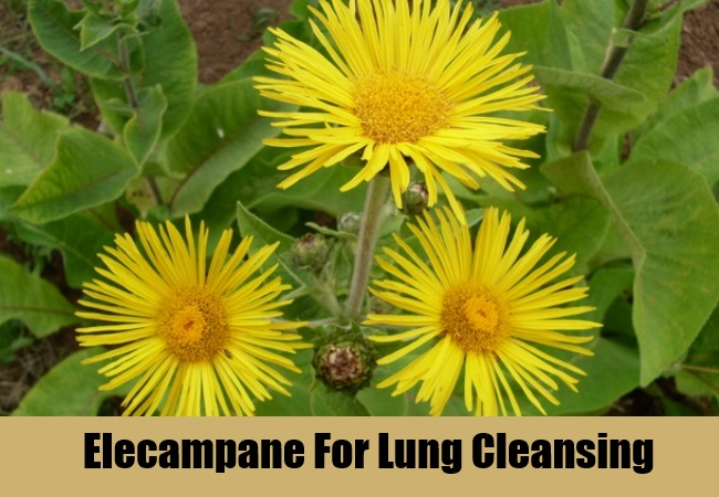 Elecampane For Lung Cleansing