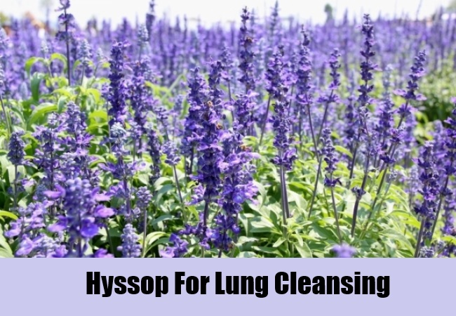 Hyssop For Lung Cleansing