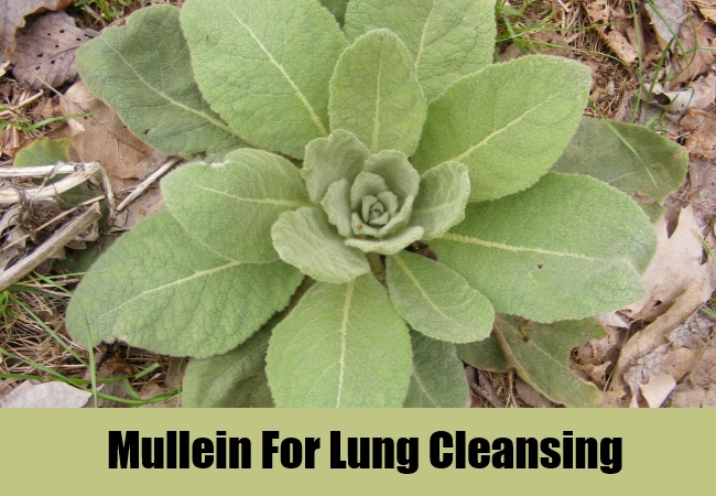 Mullein For Lung Cleansing