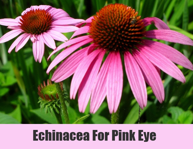 Echinacea For Pink Eye