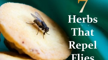 Herbs That Repel Flies