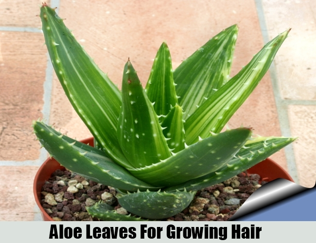 Aloe Leaves For Growing Hair